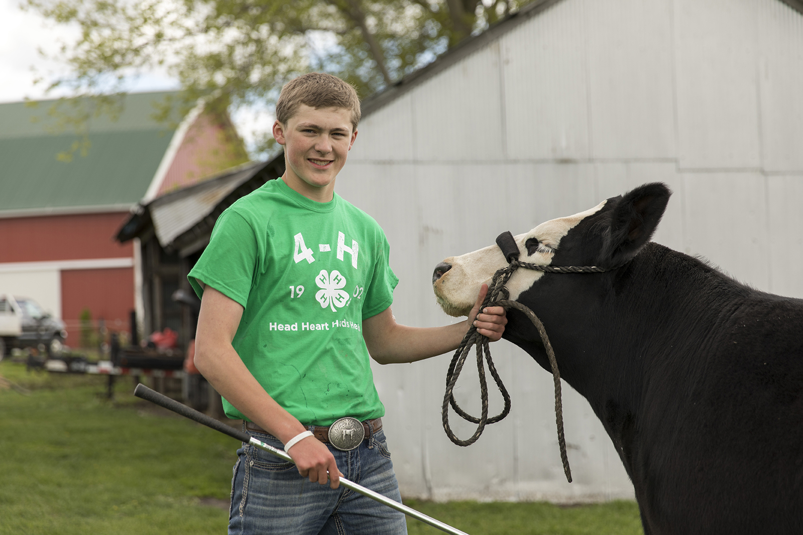 4-H member working with beef animal