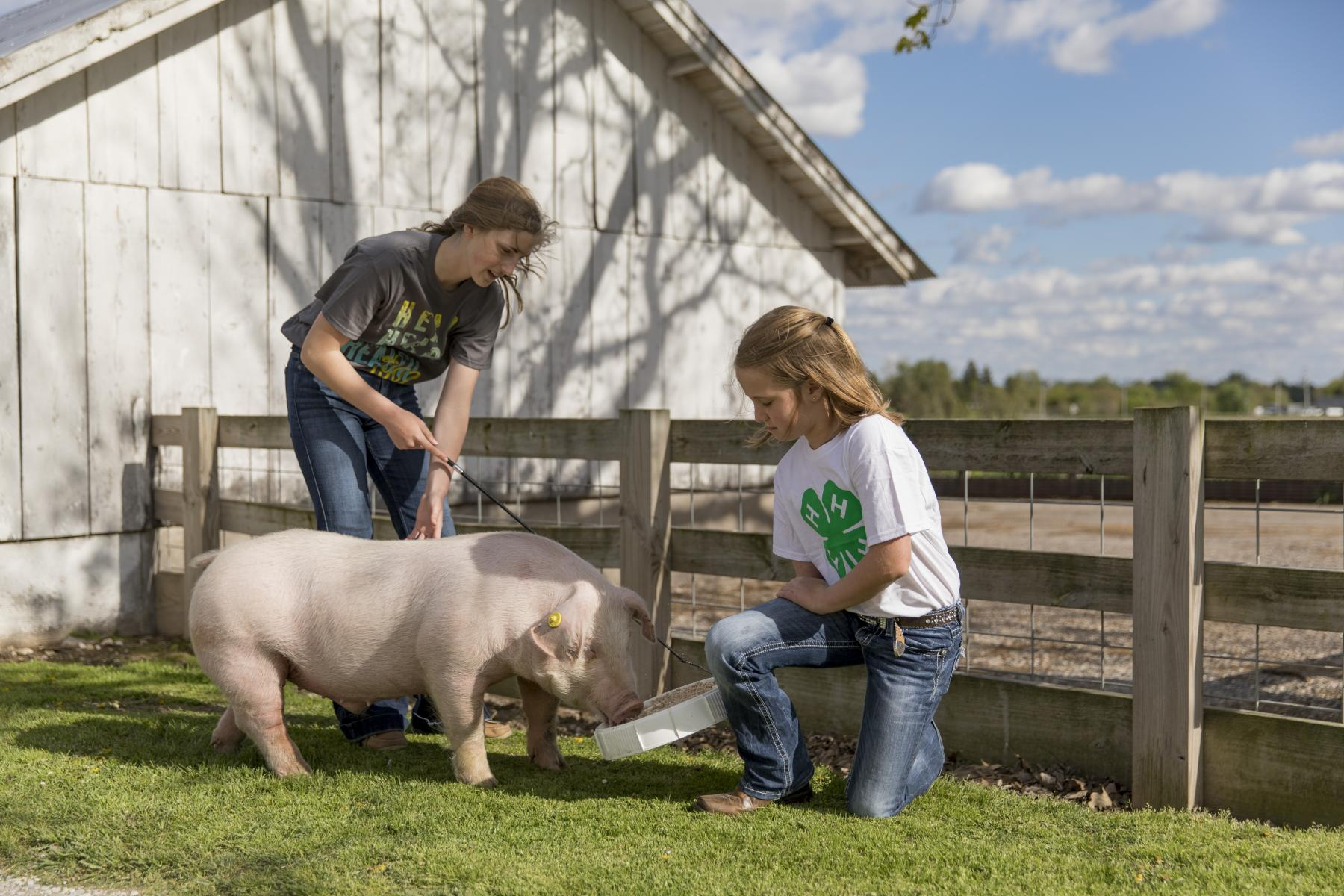 4-H members working with a show pig