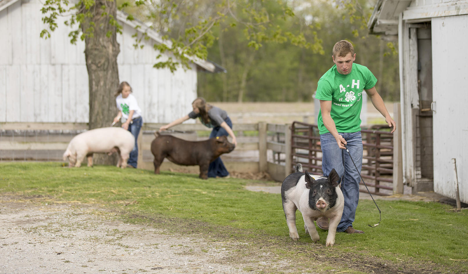 4-H members working with show pigs in a barnyard