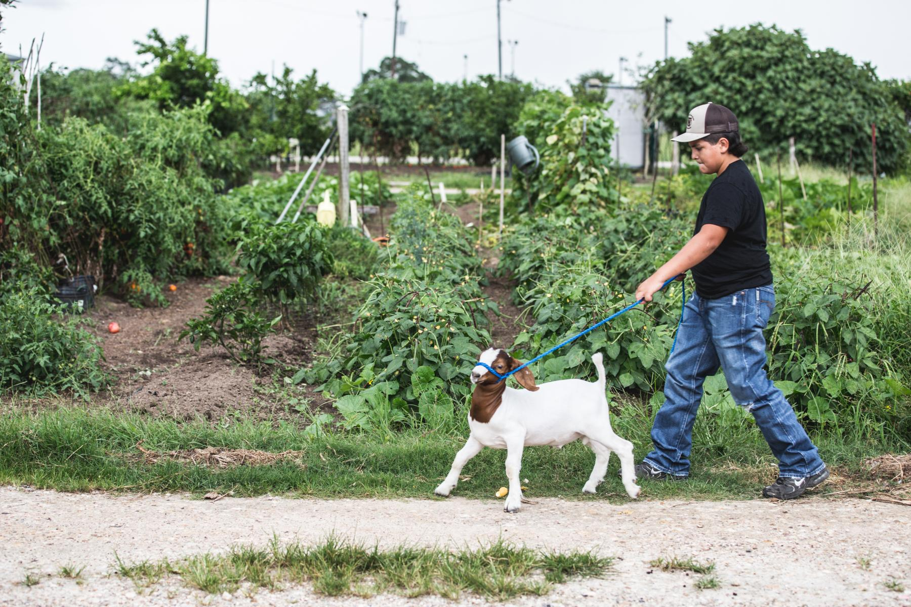 4-H member working with goat