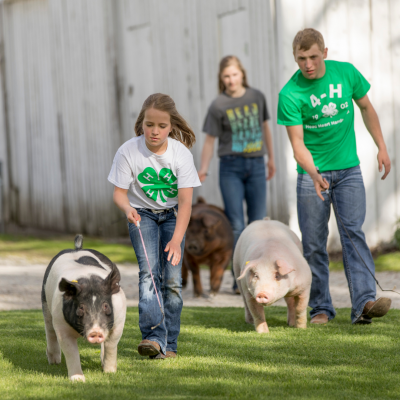 teens wearing 4-H shirts working with their 4-H hogs