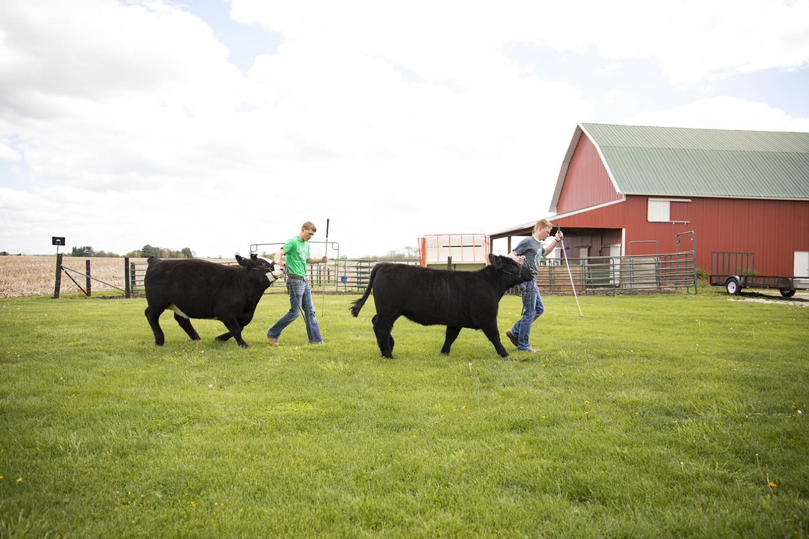 youth leading show calves through barn yard