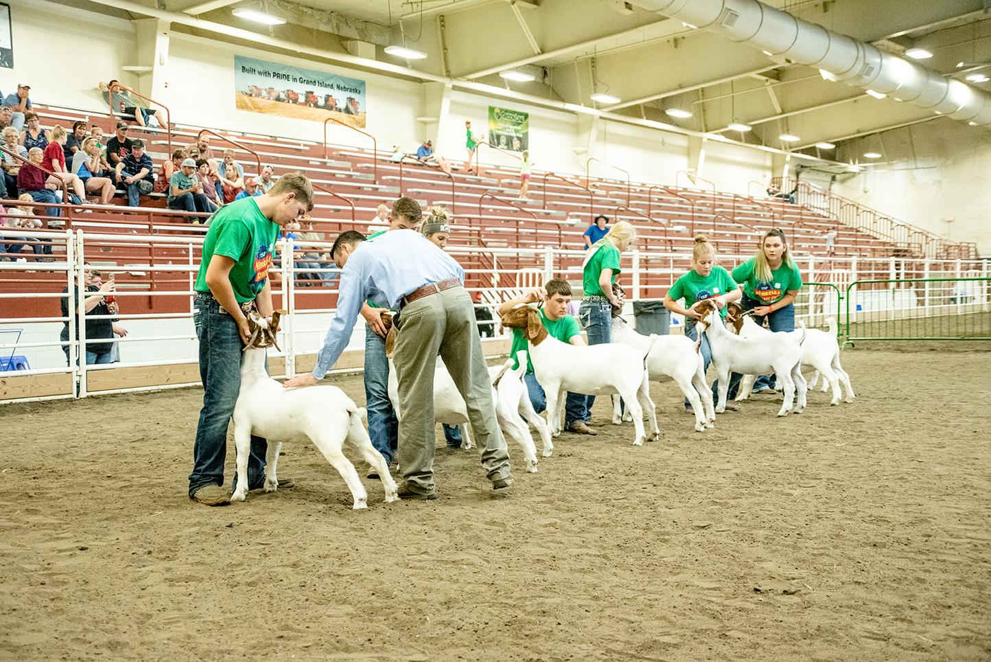 4-H members show meat goats at the Nebraska State Fair