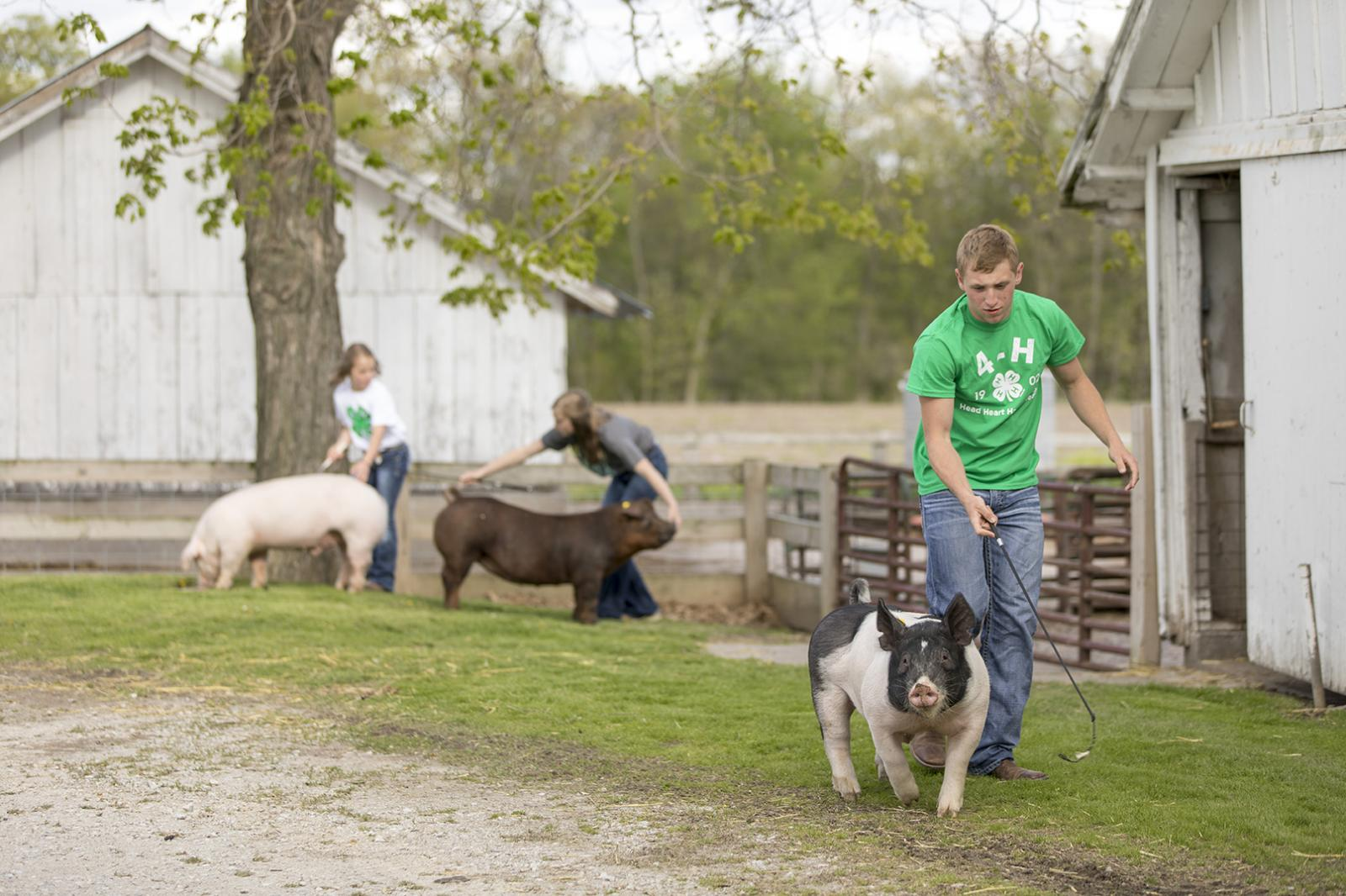 4-H members working with their hogs