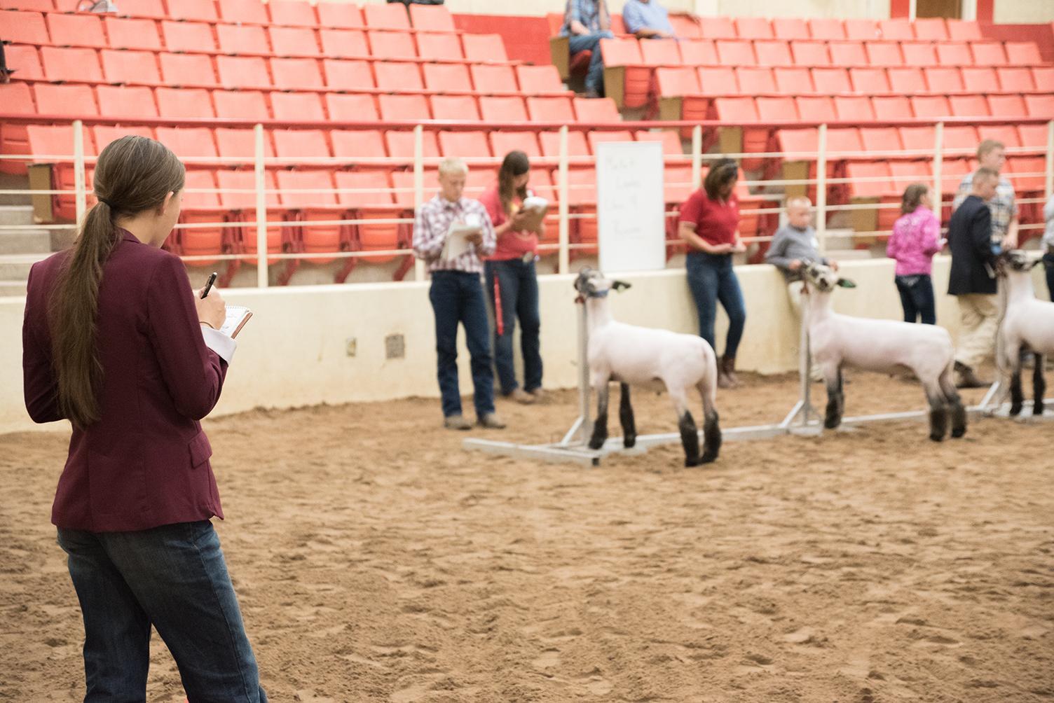 4-H member judging market lambs