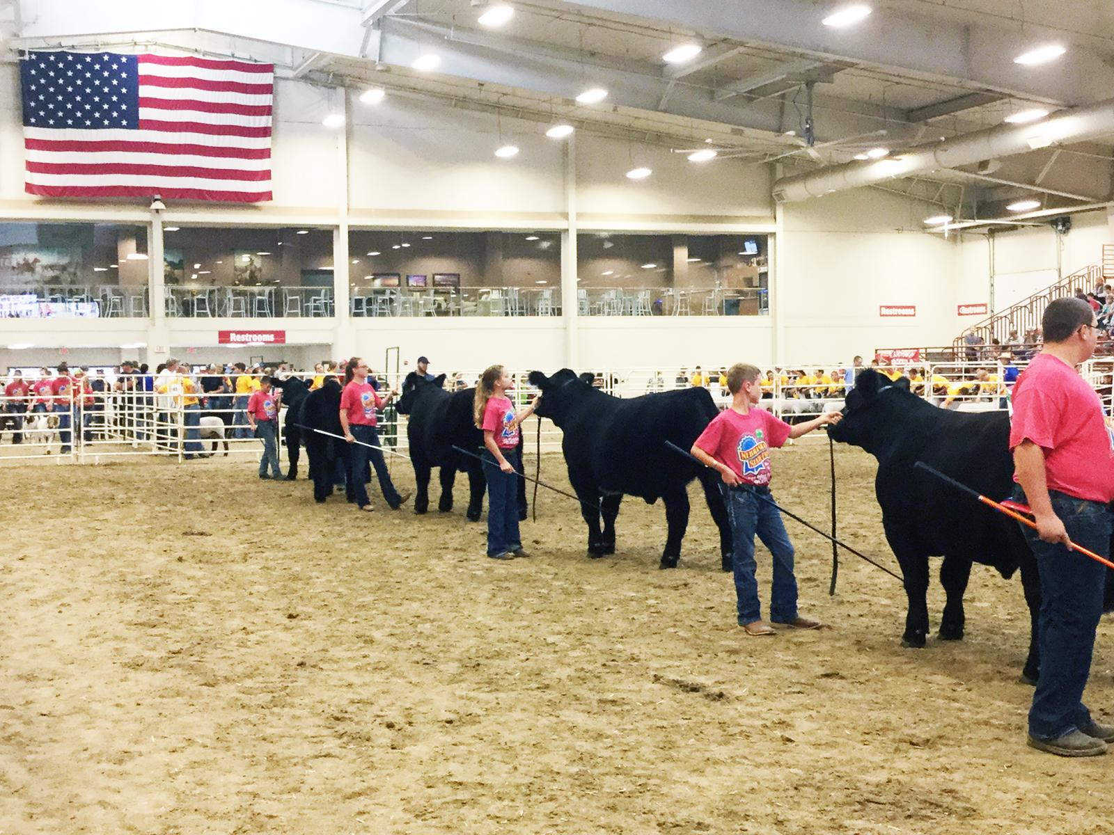 4-H members showing beef animals