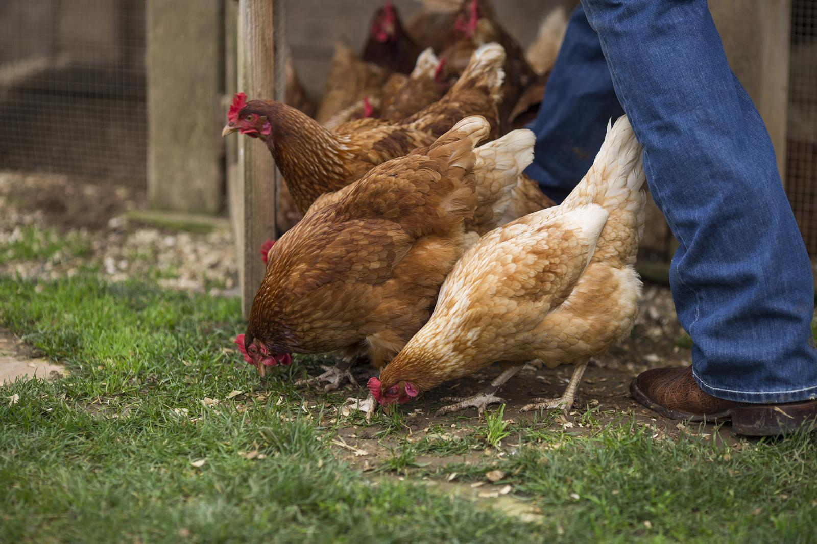 red chickens peck at the ground as a someone walks by wearing jeans and boots