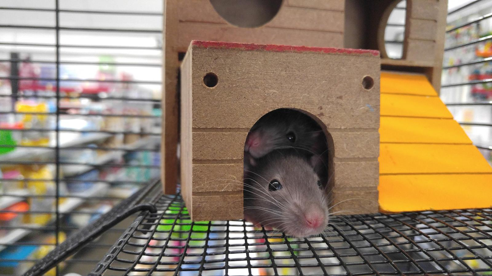 mice peeking out of toy house
