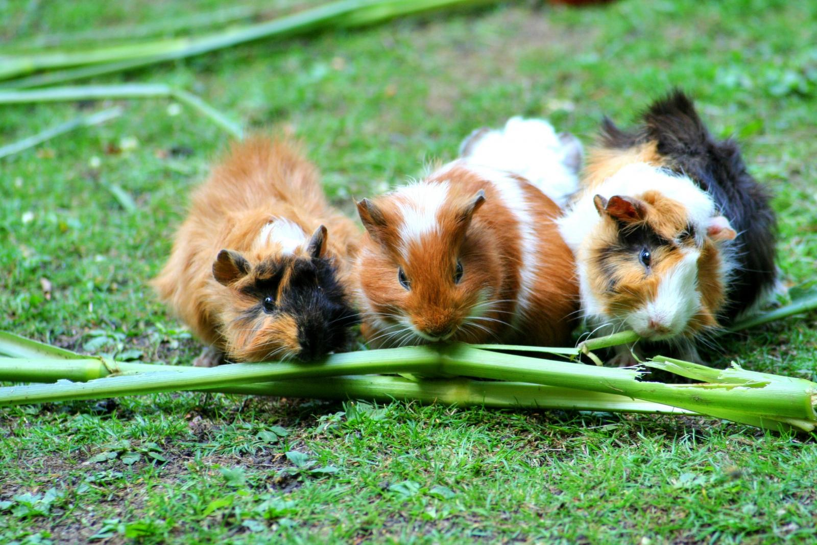 three guinea pigs chewing on green vegetables